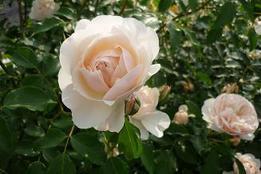 Rosegarden_1