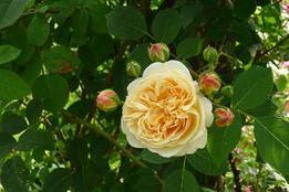 Rosegarden_2