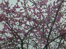 Ume_flower1